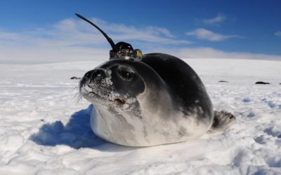 Scientists are tracking these seals with sensors that look like little hats
